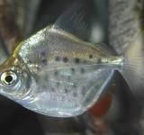 Метиннис пятнистый (Metynnis lippincottianus)