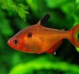Минор (Hyphessobrycon minor)