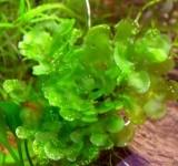 Мох Моносолениум (Мох Печеночный) (Monosolenium tenerum)