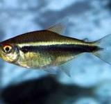 Неон черный (Hyphessobrycon herbertaxelrodi)