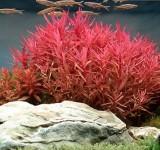 Несея красная (Nesaea crassicaulis)