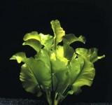 Кубышка японская (Nuphar japonica)