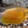 Гурами медовый (Trichogaster chuna)