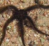 Офиура-офиолепис черная (Ophiolepis sp.)