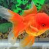 Золотая рыбка «Оранда» (Lion Head Goldfish)