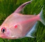 Орнатус красноточечный, Рубростигма (Hyphessobrycon erythrostigma)