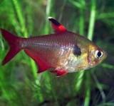 Орнатус (Фантом) красный (Megalamphodus sweglesi)