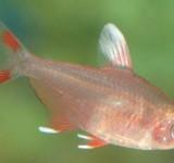 "Орнатус белоплавничный (Hyphessobrycon sp. ""white fin"")"