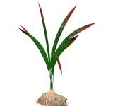 Осока (Dragon-flame) 15 см, растение шелковое Tetra DecoArt Plantastic®