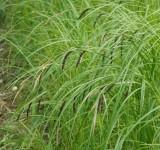 Осока острая (стройная) (Carex acuta) (контейнер 1-2л)