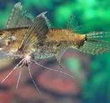 Пантодон Бухгольца (Рыба-бабочка) (Pantodon buchholzi)