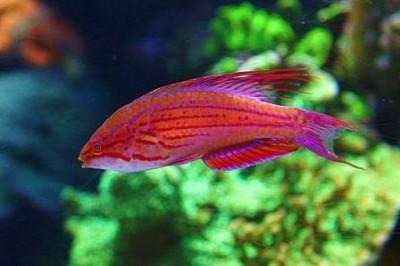 Губан краснополосый (нитеперый) (Paracheilinus filamentosus)