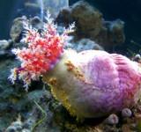 Голотурия морское яблоко (Paracucumaria tricolor)