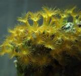 "Паразоантусы желтые Parazoanthus sp. (""gracilis"")"