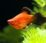 Пецилия красная - чернохвостая  (Xiphophorus maculatus var.)