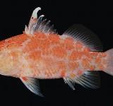 Плектрантиас красный высокоплавничный (Plectranthias inermis)