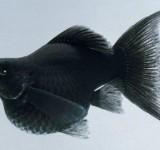 Моллинезия-баллон черная (Poecilia ballon var.)