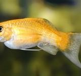 Моллинезия шафрановая лирохвостая (Poecilia latipinna var.)