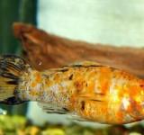 """Моллинезия """"красный леопард"""" (Poecilia latipinna var.)"""