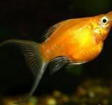 Моллинезия-баллон оранжевая (Poecilia ballon var.)