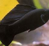 Моллинезия высокоплавничная черная (Poecilia sphenops var.)