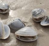 Моллюск двустворчатый пресноводный (Polymesoda sp.)