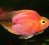 Попугай сердцевидный - красный (гибрид) (Cichlasoma sp.)