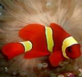 Клоун премнас желтополосый (Красный желтополосый клоун) (Premnas biaculeatus)