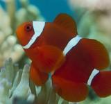 Клоун премнас (Красный трехполосый клоун) (Premnas biaculeatus)