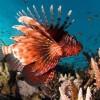 Крылатка африканская (Момбаса) (Pterois mombasae)