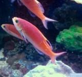 Антиас высокоплавничный (Rabaulichthys stigmaticus)