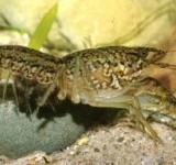 Рак мраморный (Marblecrayfish, Procambarussp.)