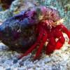 Рак-отшельник красноногий (Paguristes Cadenati)
