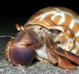 Рак-отшельник (Pylopagurus sp./Stilopagurus)