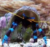 Рак-отшельник синеногий (Calcinus Elegans)