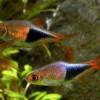 Расбора гетероморфа (клиновидная) (Rasbora heteromorpha)