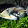 Спинорог Пикассо колючий (акулеатус) (Rhinecanthus aculeatus)