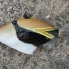 Спинорог Пикассо очковый (ректангулюс) (Rhinecanthus rectangulus)
