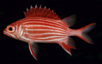 Рыба-солдат диадема (Sargocentron diadema)