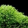 Риччия, печеночный мох (Riccia fluitans)