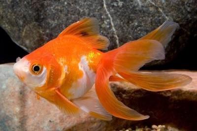Риукин красно-белый (Carassius auratus var.)