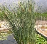 Рогоз узколистный (Typha angustifolia) (контейнер 3-5л)