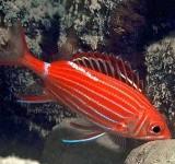 Рыба-белка (Sargocentron sp.)