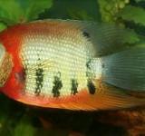 """Северум красноголовый (Heros cf. appendiculatus """"Rotkeil"""")"""