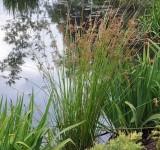 Ситник развесистый, расходящийся (Juncus effusus) (контейнер 2-3л)