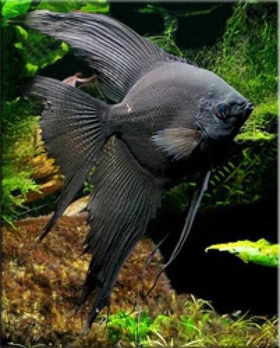 Скалярия черная (Pterophyllum scalare var.)