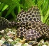 Сом парчовый (птеригоплихт) (Pterygoplichthys gibbiceps)