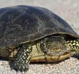 Черепаха болотная (Swamp turtle)