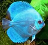 Дискус голубой алмаз (Symphysodon aequifasciatus var)