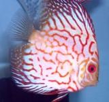 Дискус красный жемчуг (Symphysodon aequifasciatus var.)